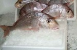 red seabream wholesale