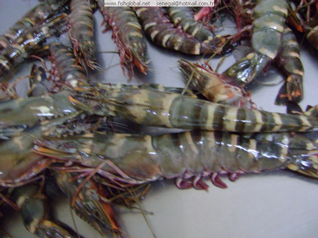 Tiger Shrimp | Senegal Seafoods And Fish Products