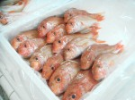 red mullet exporter