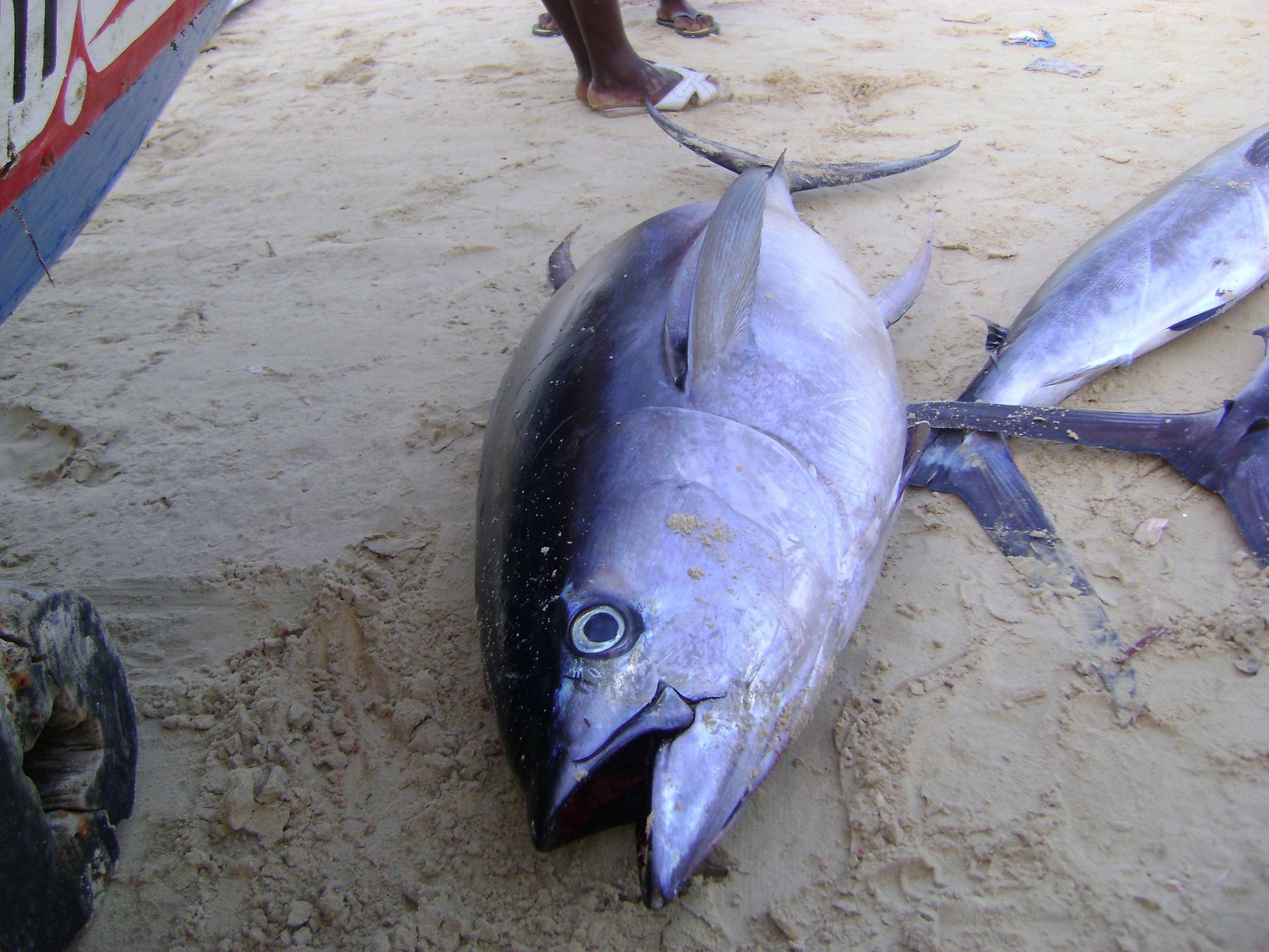 Tuna fish senegal big eye tuna export for Ahi tuna fish