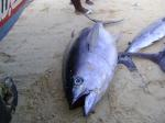 bigeye tuna,yellowfin tuna ,fresh tuna fish