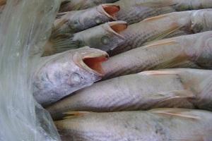 Frozen Capitan Fish