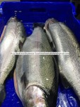 fresh ,chilled salmon trout