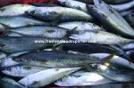 Cachorreta - chub mackerel