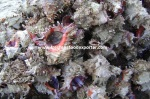frozen top shell meat export