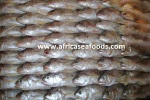 frozen bobo croaker exporter
