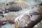 zebre fish