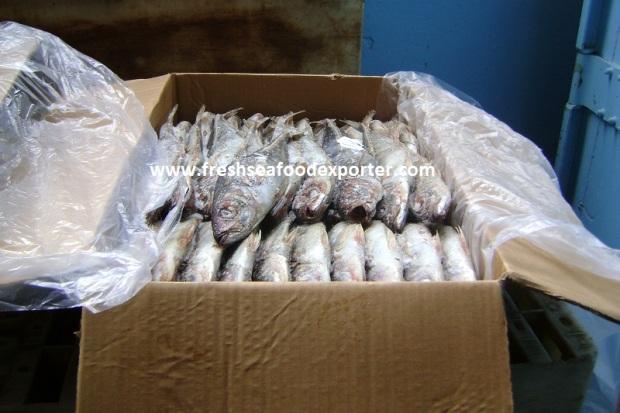 frozen horse mackerel senegal