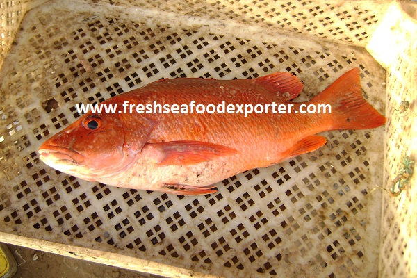 Red Snapper Exporter