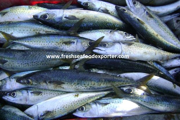 mackerel west africa