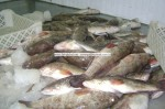 white grouper exporter