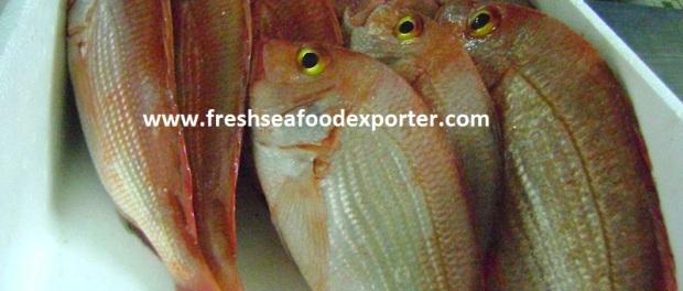 fresh angola dentex