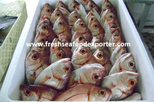 large-eye dentex :   سمك العضاض واسع العين الاحمر   *