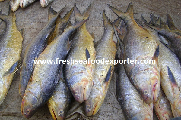 LESSER African Threadfin
