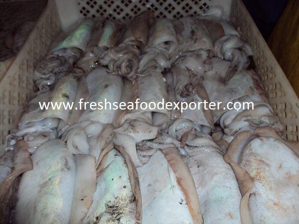 frozen cuttlefish