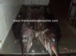 istiophorus albicans