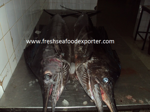 Frozen Sailfish