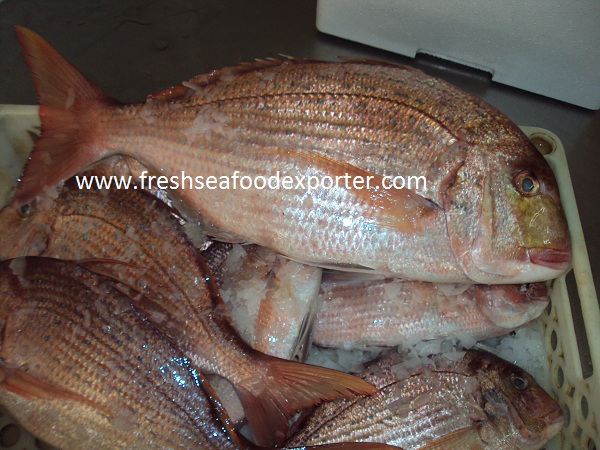 blue spotted seabream exporter