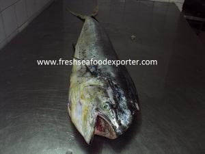 pompano dolphin fish :    اسماك الدولفين بومبانو