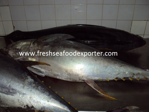 Fresh&Frozen Yellowfin Tuna
