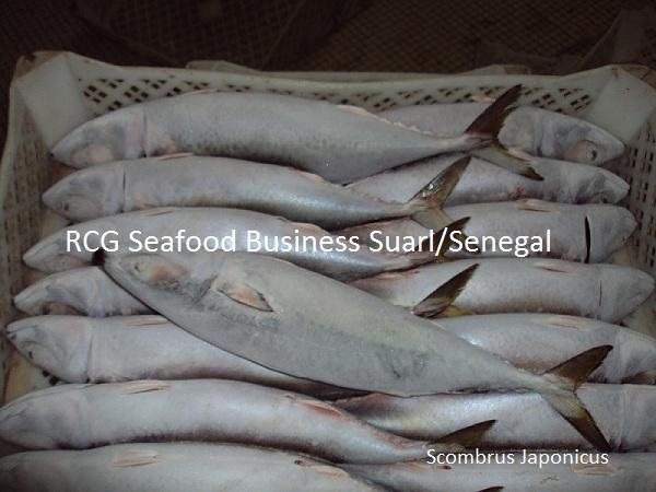 scombrus japonicus pacific mackerelfrozen