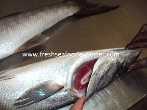 Fresh Barracuda from Senegal