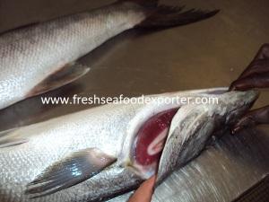 Fresh Barracuda from Senegal