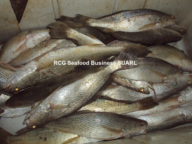 Frozen Croaker from Senegal