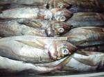 замороженные ставрида-Trachurus Trachurus-Horse Mackerel-Chincard-Frozen Horse Mackerel Exporter