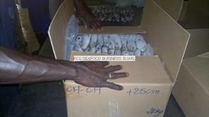 frozen horse mackerel