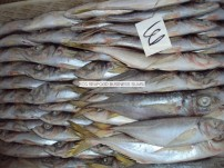 dondurulmuş istavrit balığı