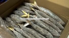 horse mackerel