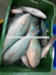 fresh ,chilled parrot fish