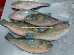 fresh parrot fish