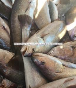 shadefish