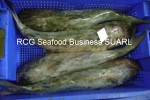 sea cat fish