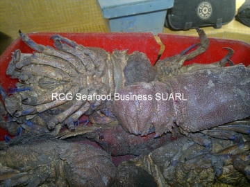Mediterranean Slipper Lobster, Gande Cigale, Scyllarides Latus