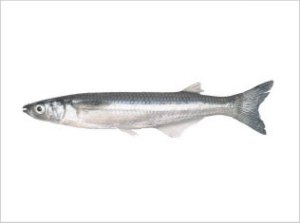 Atherinidae Spp -Silver Side exporter
