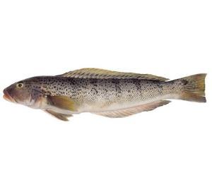 Brazilian Sandperch/ Sea Salmon  (Pseudopercis semifasciata)