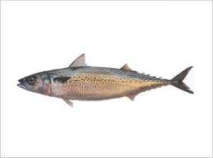 caballa-Scomber Japonicus - Chub Mackerel