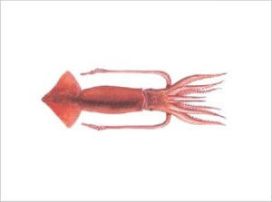 Illex Argentinus | Argentine Short-fin Squid