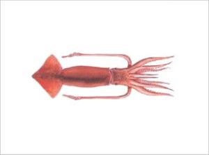 Illex Argentinus   Argentine Short-fin Squid