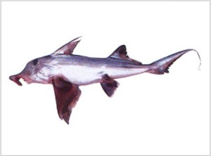 Callorynchus | Elephant Fish