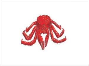 Lithodes Antarticus | Southern King Crab