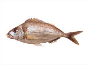 Cheilodactylus Bergi | Castaneta, Hawkfish