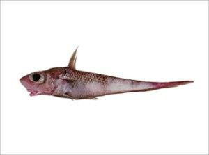 Coelorynchus fasciatus | Grenadier