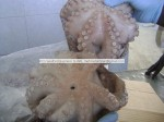 Flowered Type Frozen Octopus Vulgaris-Senegal