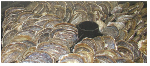 european oyster