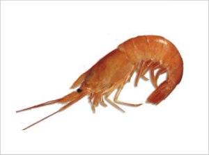 Pleoticus Muelleri | Argentine Red Shrimp
