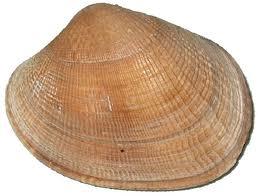 manila clam tapes philippinarium
